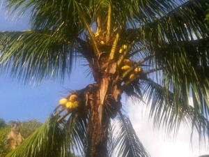 The coconuts!
